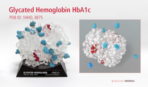 Glycated Hemoglobin, HbA1c, Biologic Models