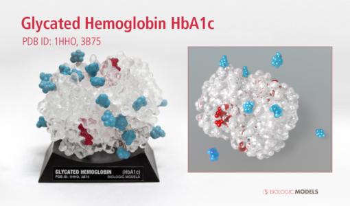 Glycated Hemoglobin, HbA1c, Biologic Models