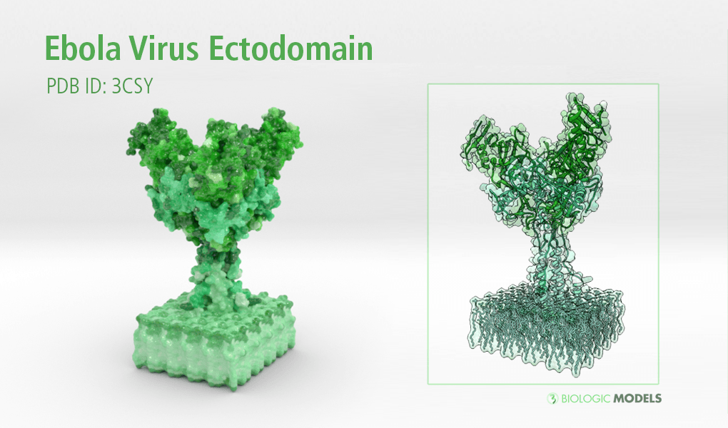 Ebola Virus, Ectodomain, Biologic Models