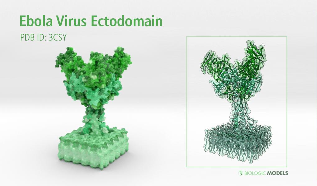 Ebola Virus, Ectodomain, Biologic Models