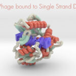T4 Phage bound to single stranded DNA