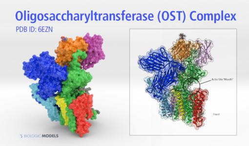 Oligosaccharyltransferase Complex, OST, Biologic Models