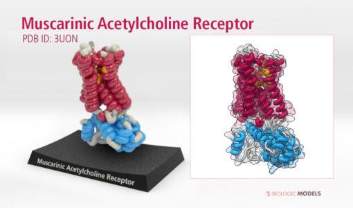 Muscarinic Acetylcholine Receptor, 3UON, Biologic Models