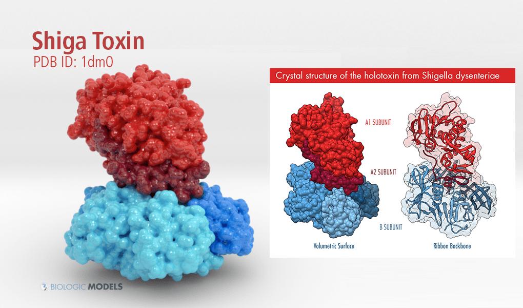 Shiga Toxin, 1DM0, Biologic Models
