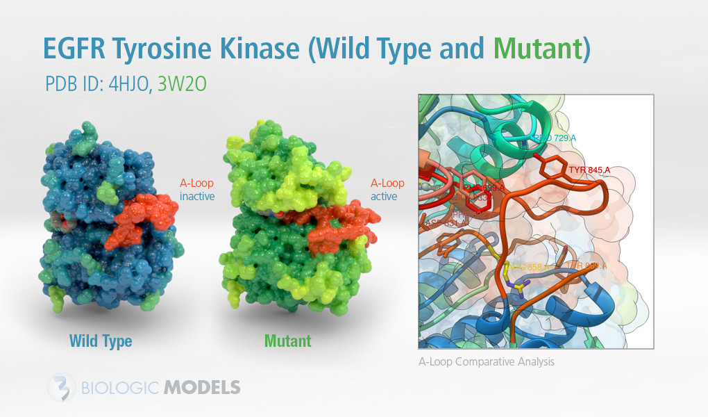 EGFR, 3W2O, 4HJO, Biologic Models