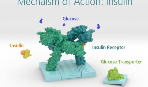 insulin receptor kit, mechanism of action insulin, diabetes, 3D printed molecule, 3D printed protein