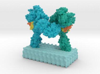 Insulin Receptor Complex 3d printed