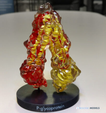 3D Print of P-Glycoprotein Photo
