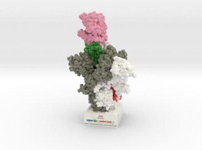 SARS-CoV-2 Spike Glyocoprotein 6VXX-6M17 3d printed